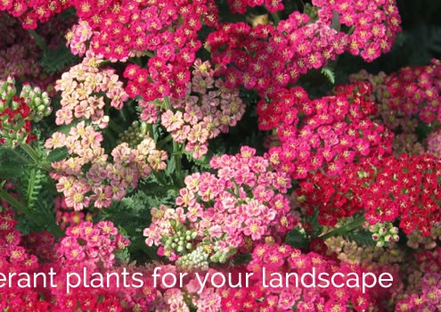 Drought Tolerant Plant Guide